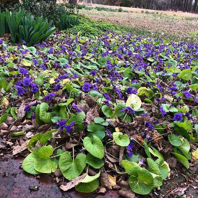 This lovely bed of violets isn't sure if spring has come early or not in SW Arkansas!