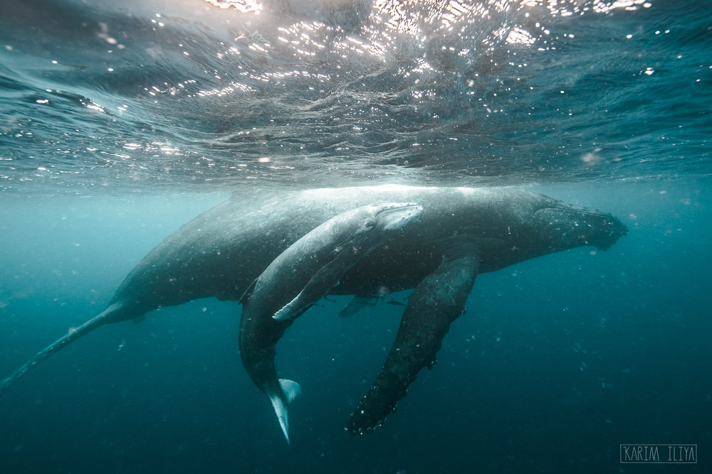 Calf-mother-humpback-surface-pacific.jpg