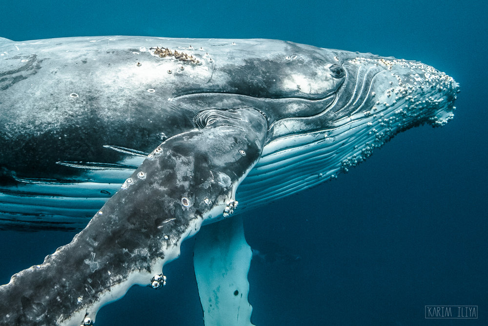 close-humpback-barnacle-swim-freedive.jpg
