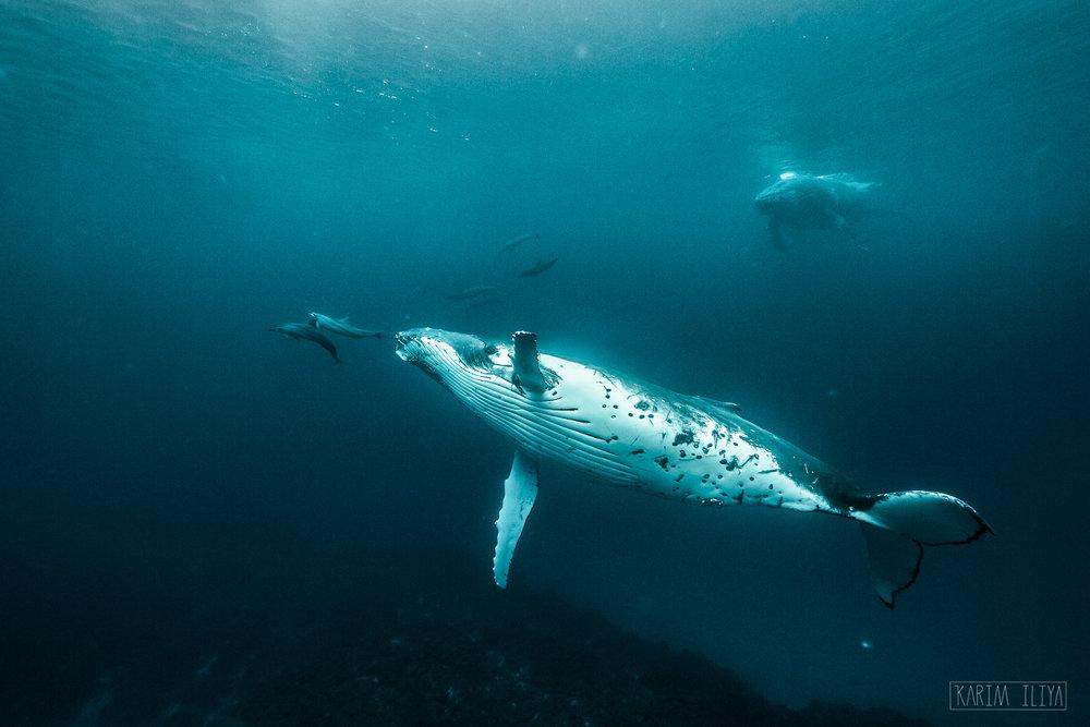 dolphin-whale-friends-swim-tonga.jpg
