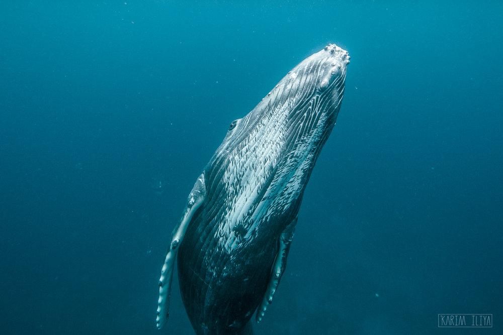 humpback-closeup-portrait-underwater-vavau.jpg