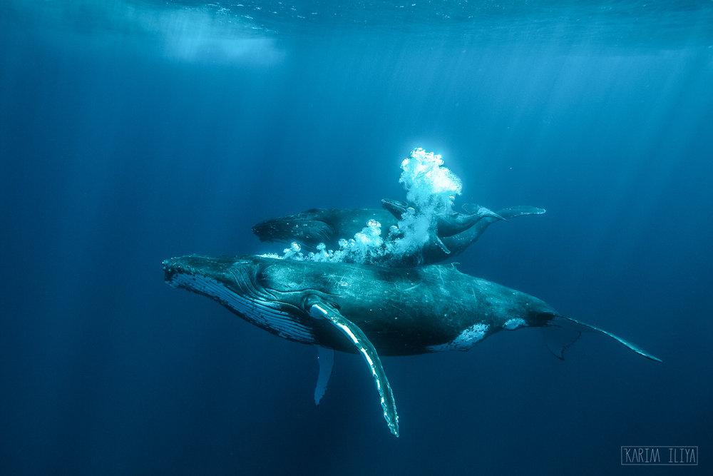 humpback-escort-baby-mother-dive.jpg