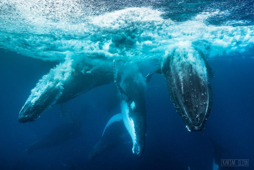 humpback-heat-run-tonga-underwater.jpg