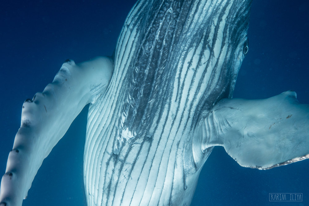 humpback-whale-baby-swim-tonga.jpg