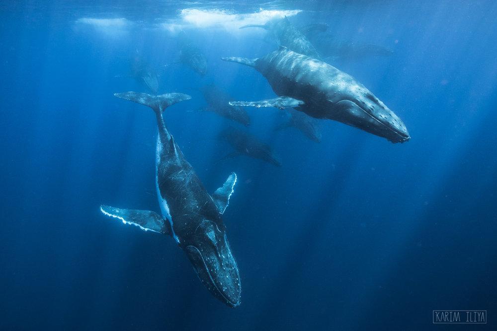 humpback-whales-tonga-vavau-photography.jpg