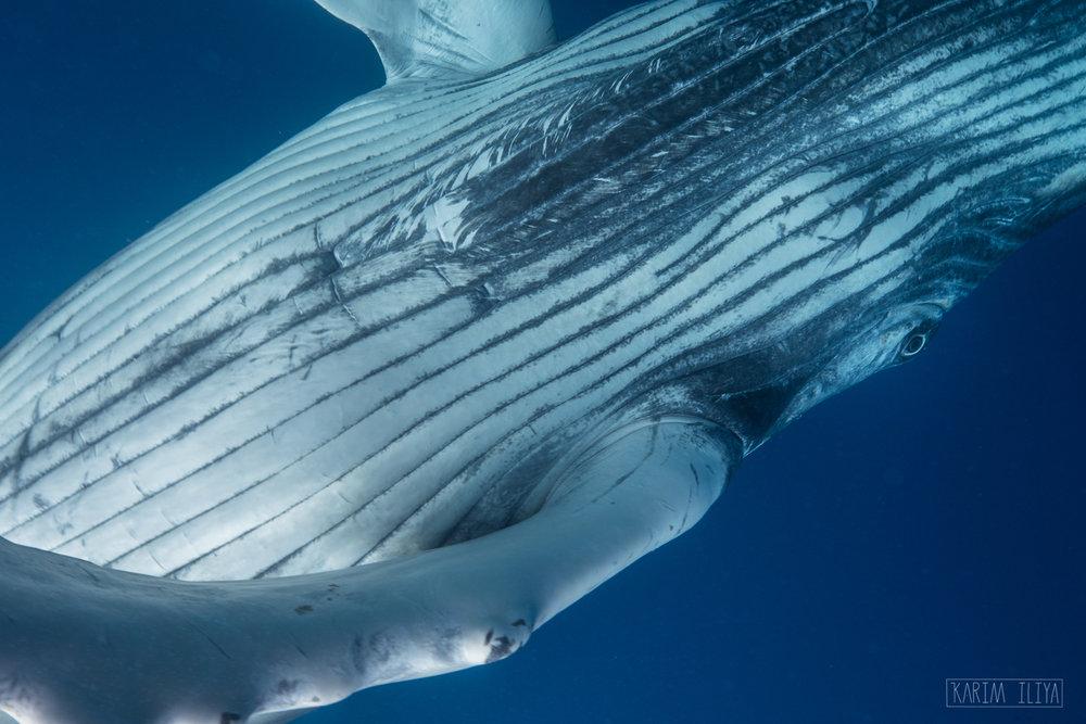 whale-belly-baby-calf-ocean.jpg