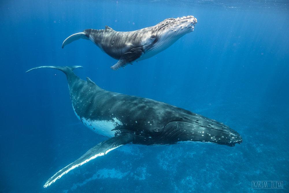 whale-calf-humpback-clear-water.jpg