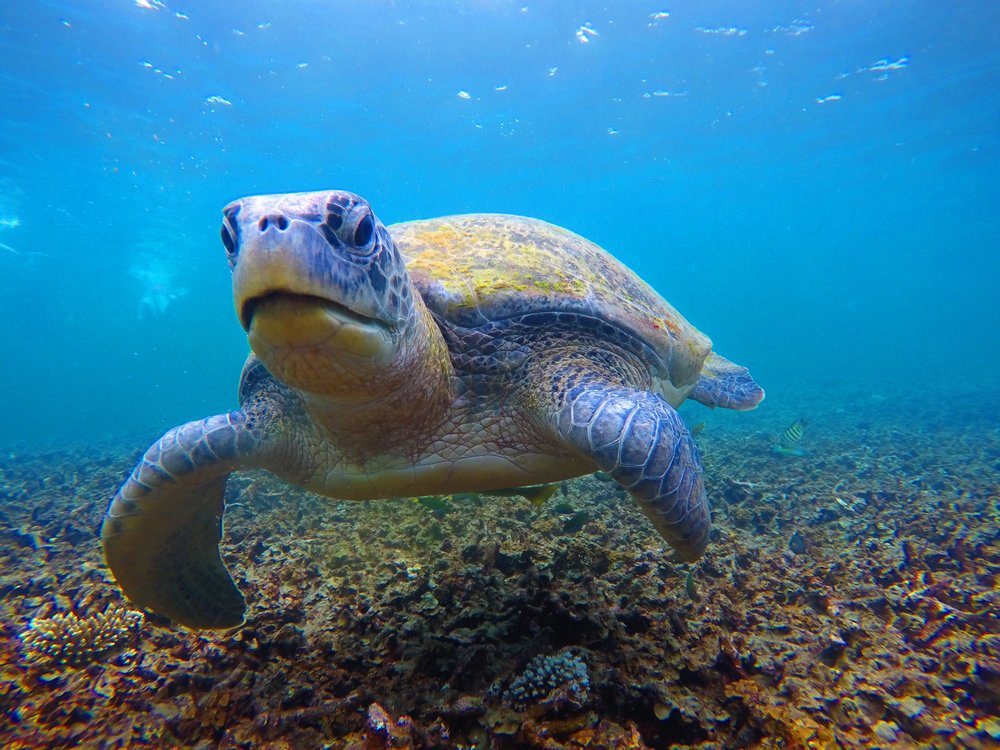 One of super cool turtles we swam with around Koh Tao