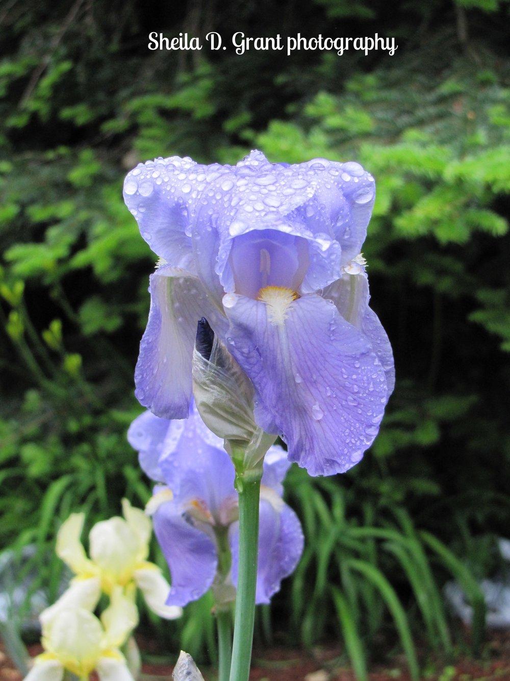Dewy Iris.JPG