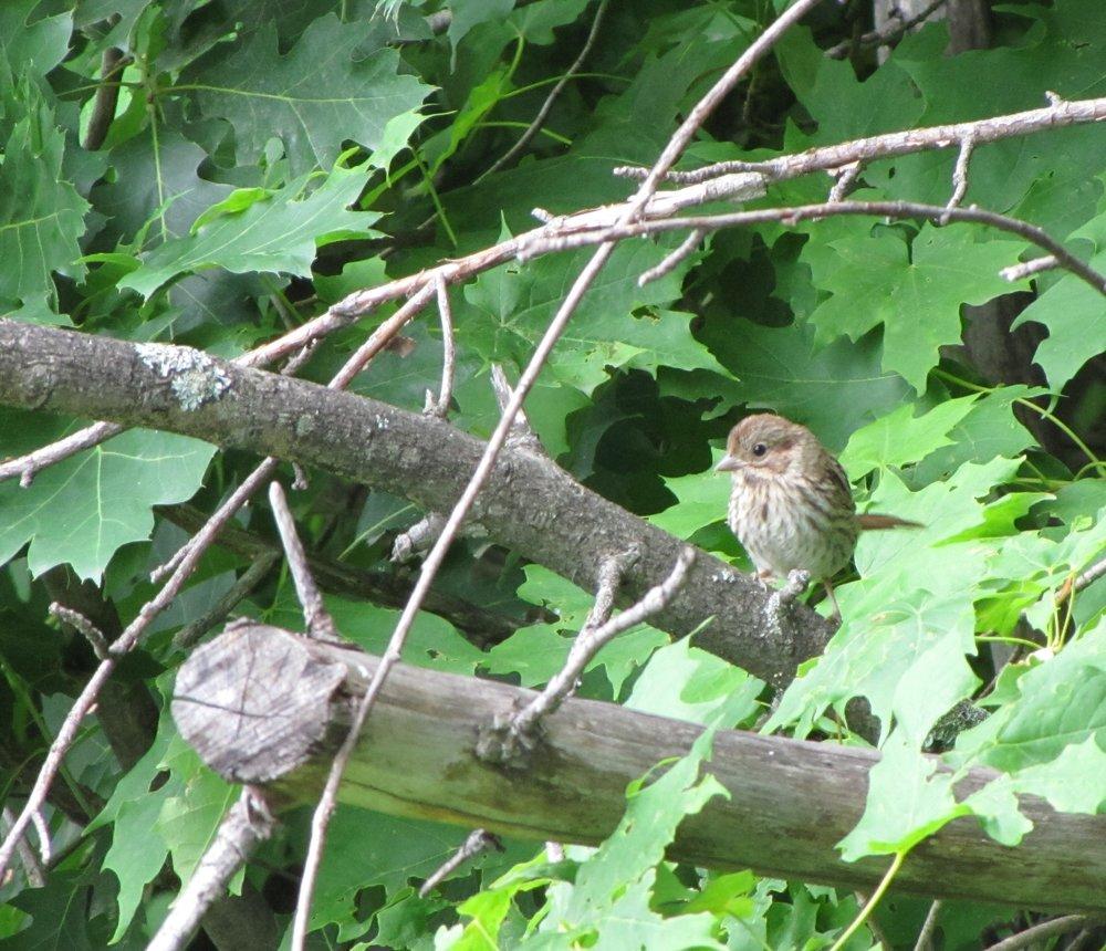 SparrowWren.JPG