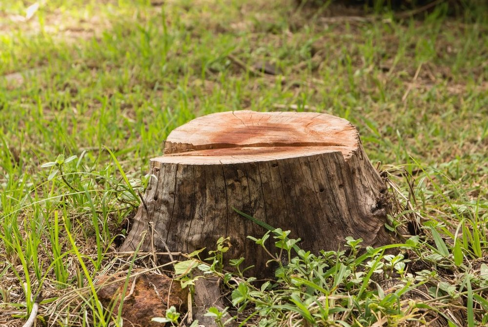 Stump ready to be ground down and removed by Mencer's Tree Service