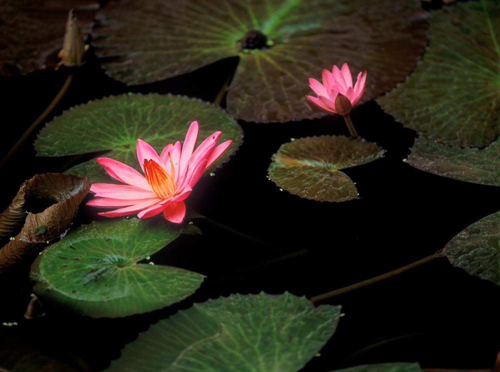 024_LotusPads2_2712_2.RGB(Ehrlich).psd.jpg