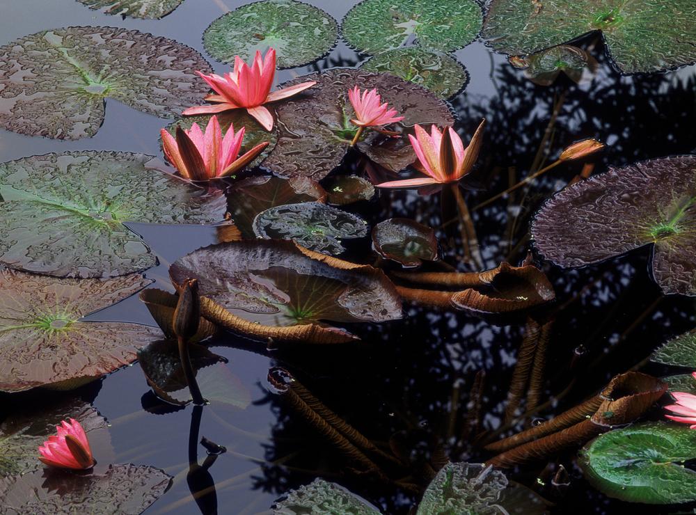 023_LotusPads2711_2.RGB(Ehrlich).psd.jpg