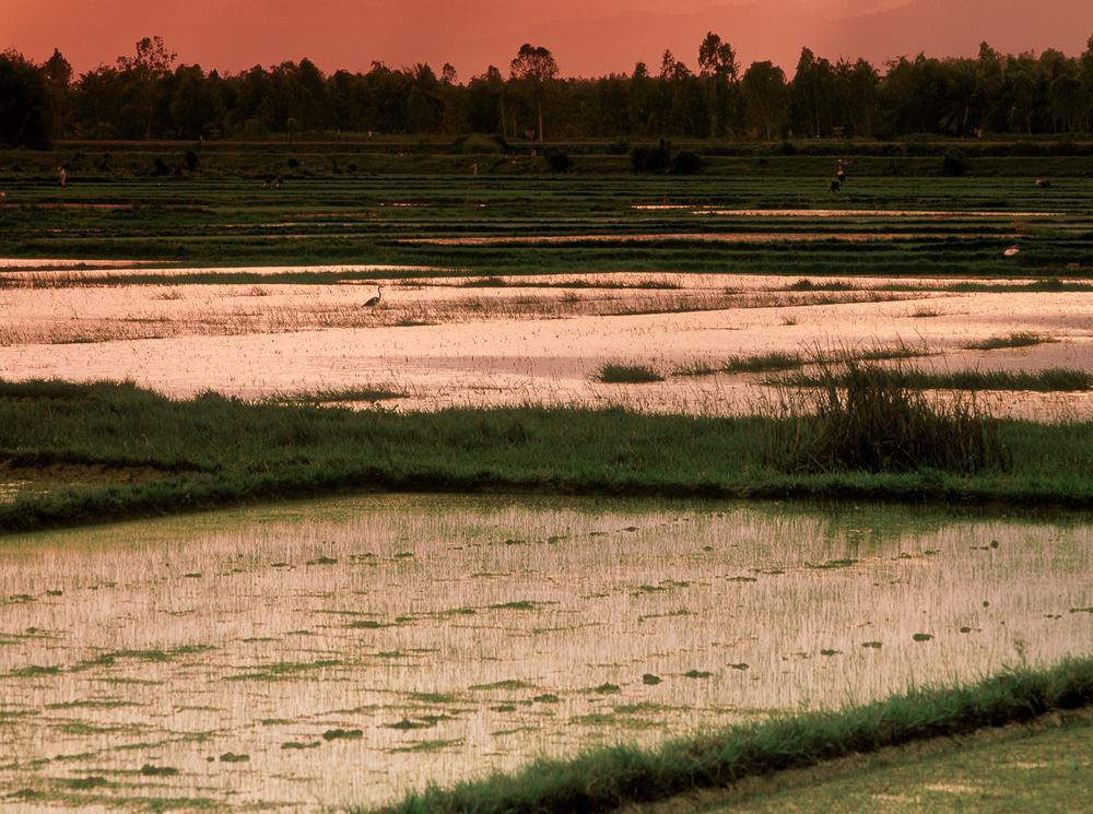 029_RiceField2742#3.RGB(Ehrlich).jpg
