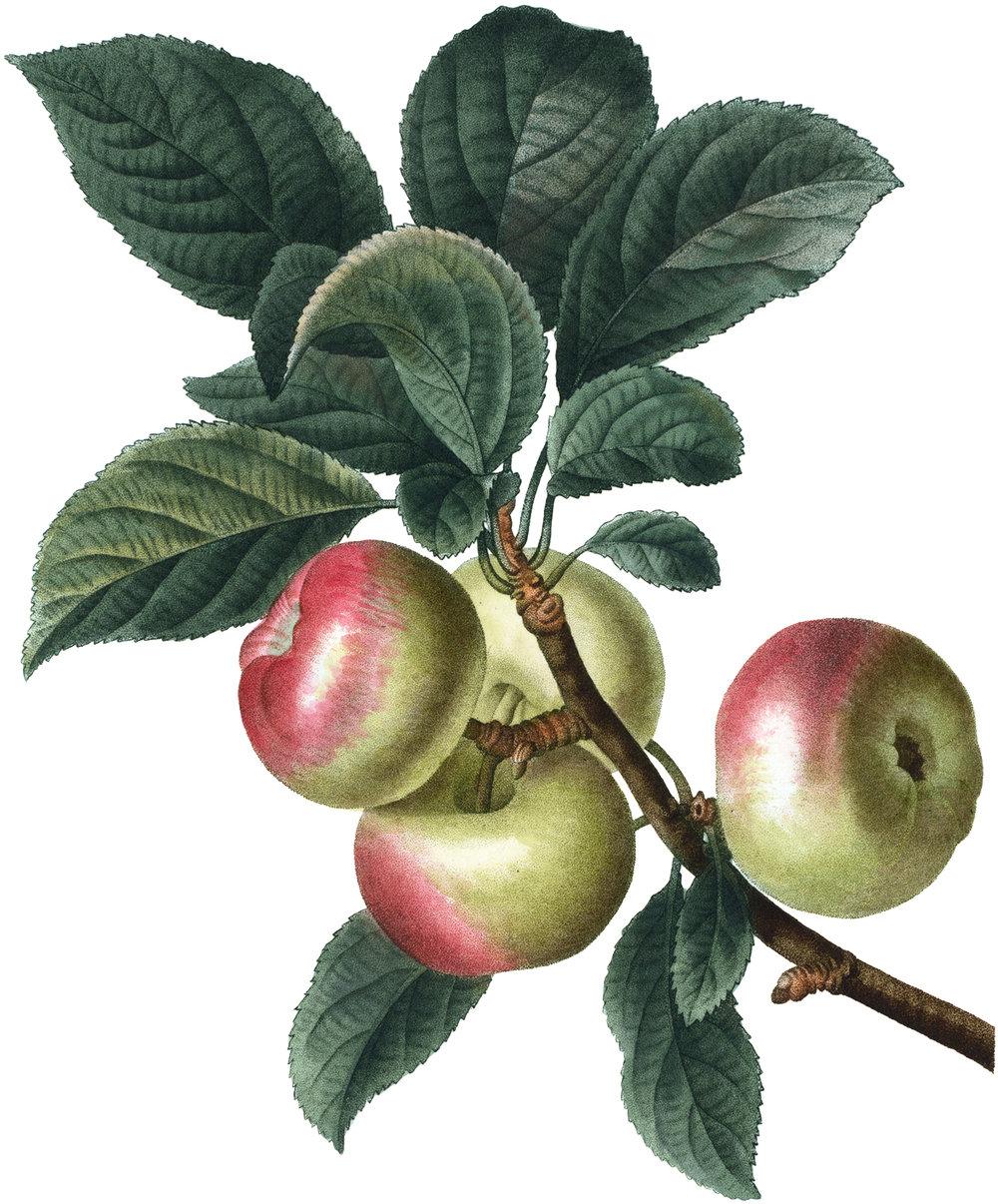 Botanical-Apples-Image-GraphicsFairy.jpg