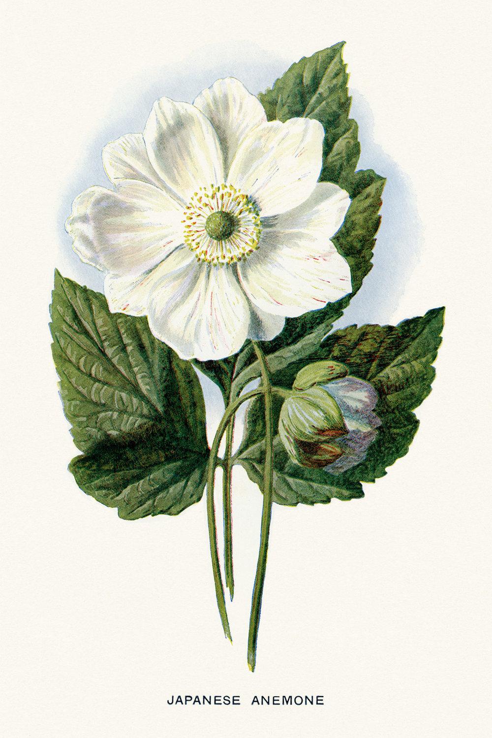 Ephemera-Gardening-Flower-Japanese-Anemone-OldDesignShop.jpg