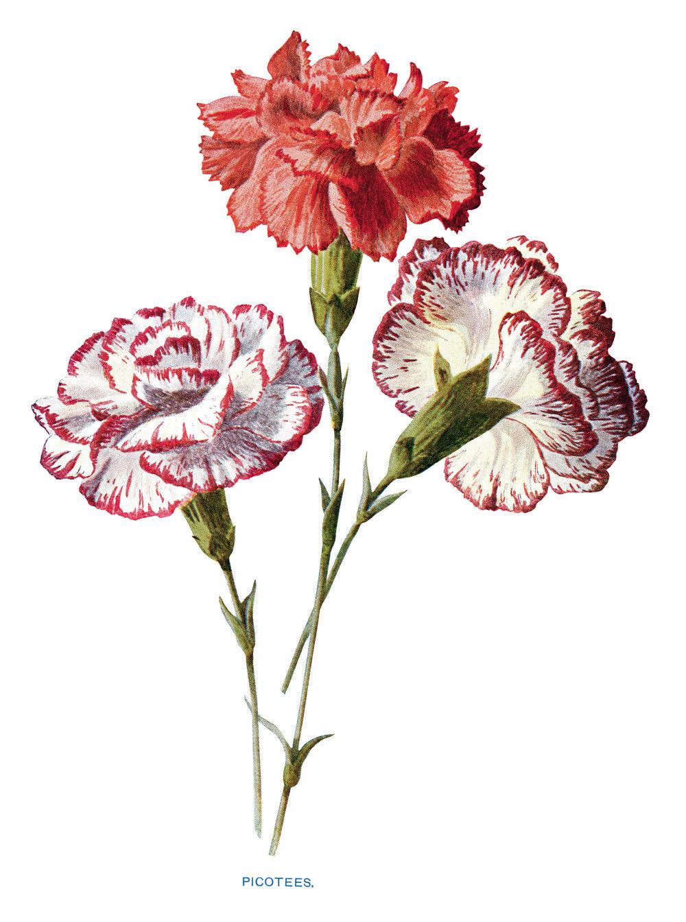 Free-Vintage-Carnation-Flower-Clip-Art-OldDesignShop.jpg
