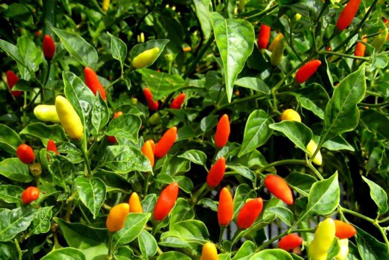 shutterstock_39269716-hawaiian-chili-peppers-8abcb641.jpg
