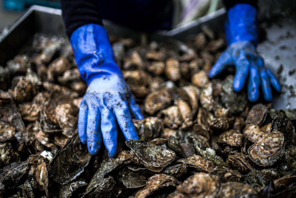 From Bay to Belly - We specialize in the great Eastern Oyster — hand-reared using sustainable methods in Virginia's pristine Little Wicomico River.