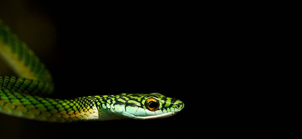 parrot-snakeDSC08842.jpg