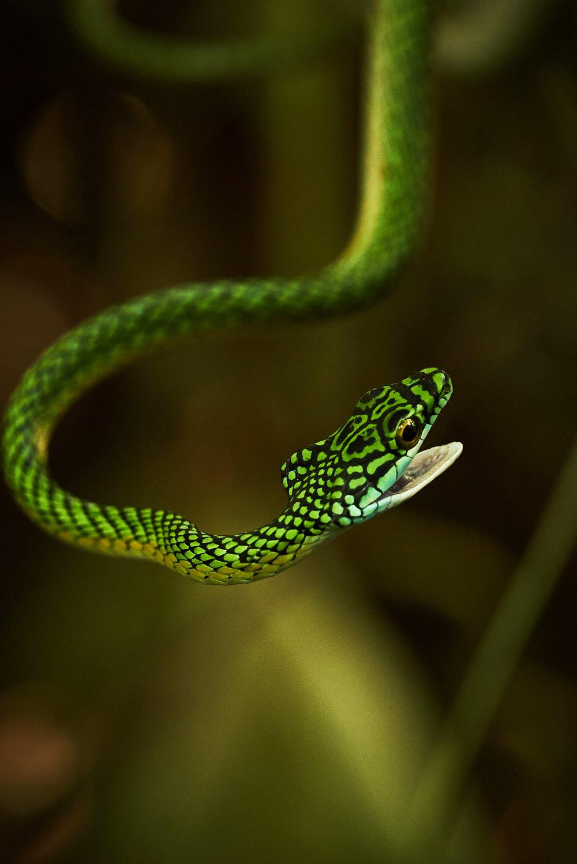 parrot-snake-2-DSC08864.jpg