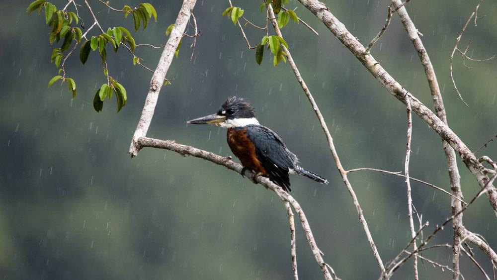 kingfisher-jone-troconis-6506.jpg