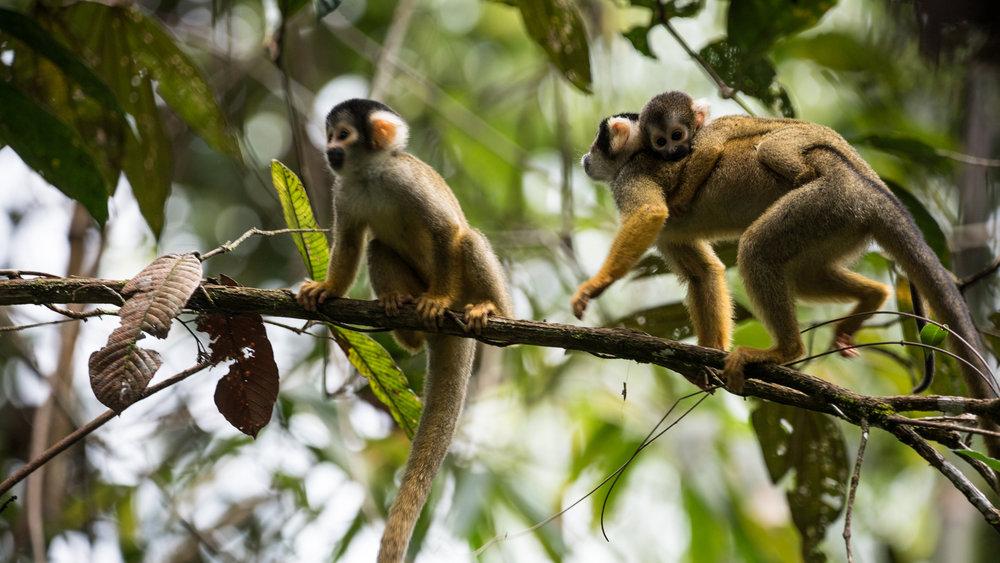 squirrel-monkeys-jone-troconis-08869.jpg