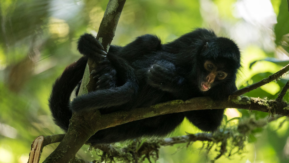 spider-monkey-tong-jone-troconis-08422.jpg
