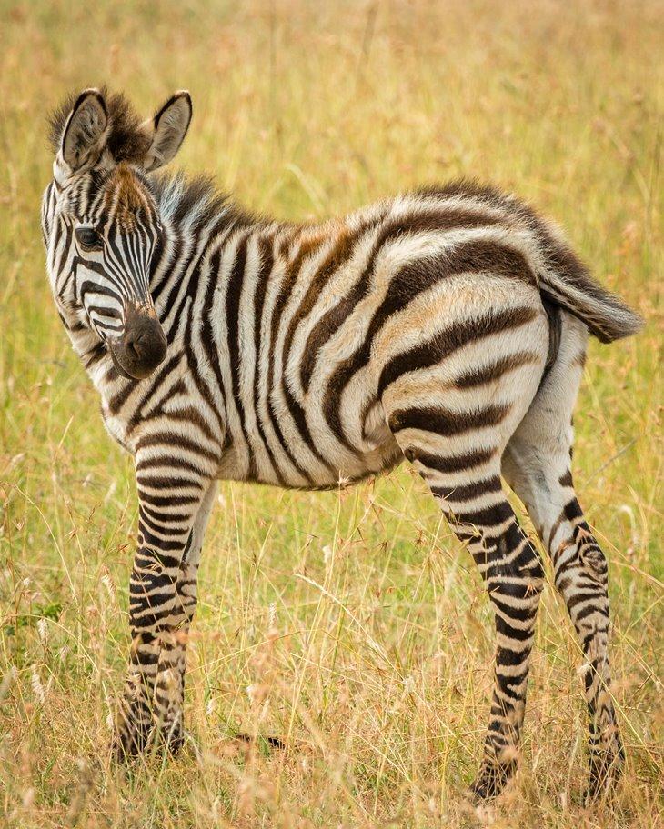 zebra baby.jpg