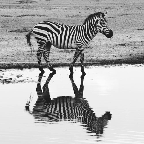 Tansania SpeZialisten - Wir spezialisieren uns auf Tansania, was uns zu Experten auf den Gebieten des Wildtierlebens in Tansania und der lokalen Gebiete und Regionen macht. Es erlaubt uns besondere und einzigartige Erlebnisse für unsere Gäste zu kreieren — im Gegensatz zu vielen anderen Anbietern die Standardpakete in vielen verschiedenen afrikanischen Ländern anbieten.