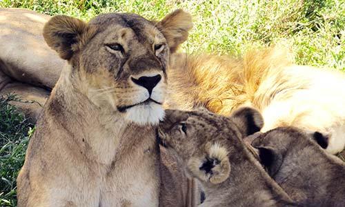 Sababu_Safaris_CentralSerengetiLions_500x300px.jpg