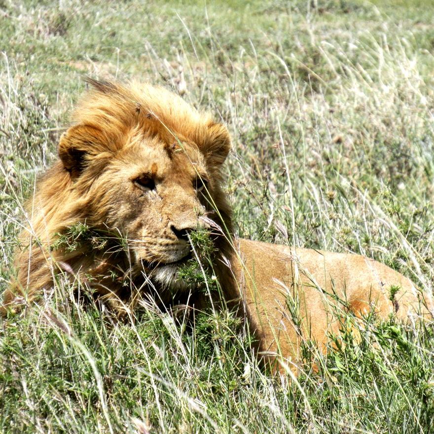 Sababu_Safaris_younglion.JPG