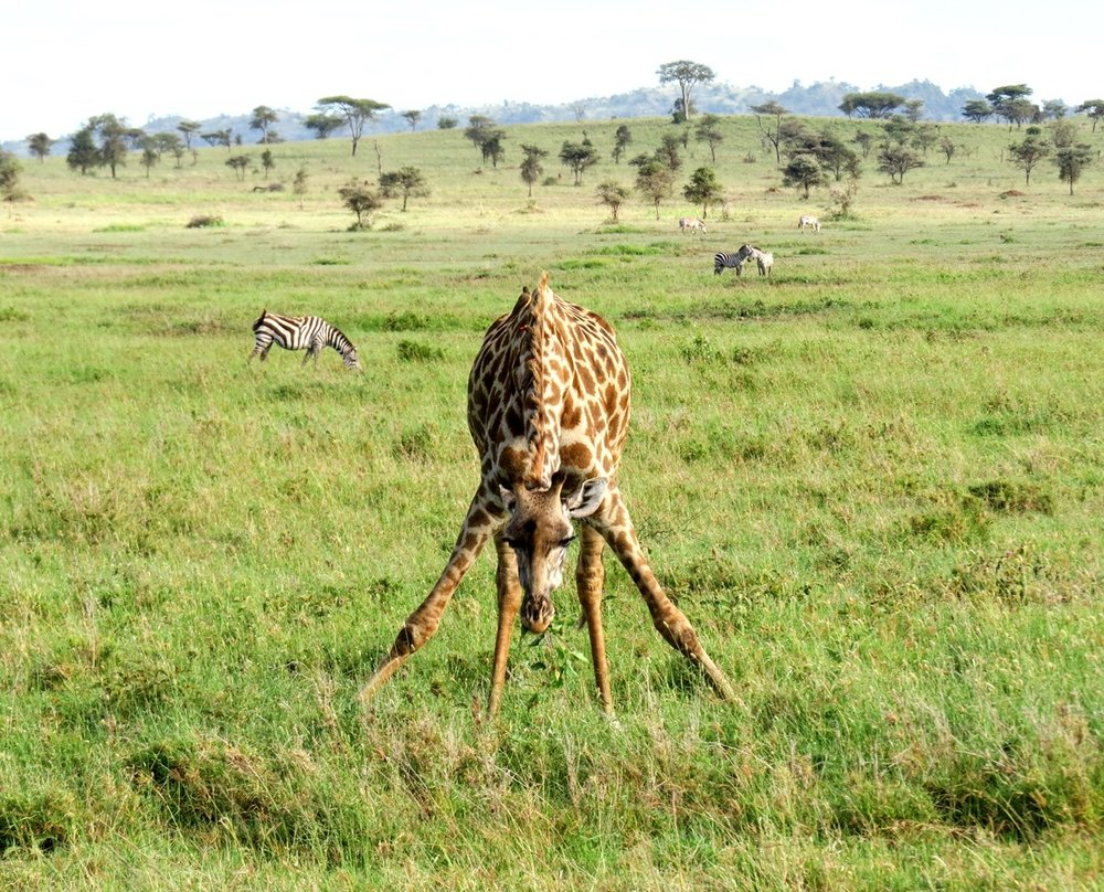 Sababu_Safaris_giraffe1.JPG