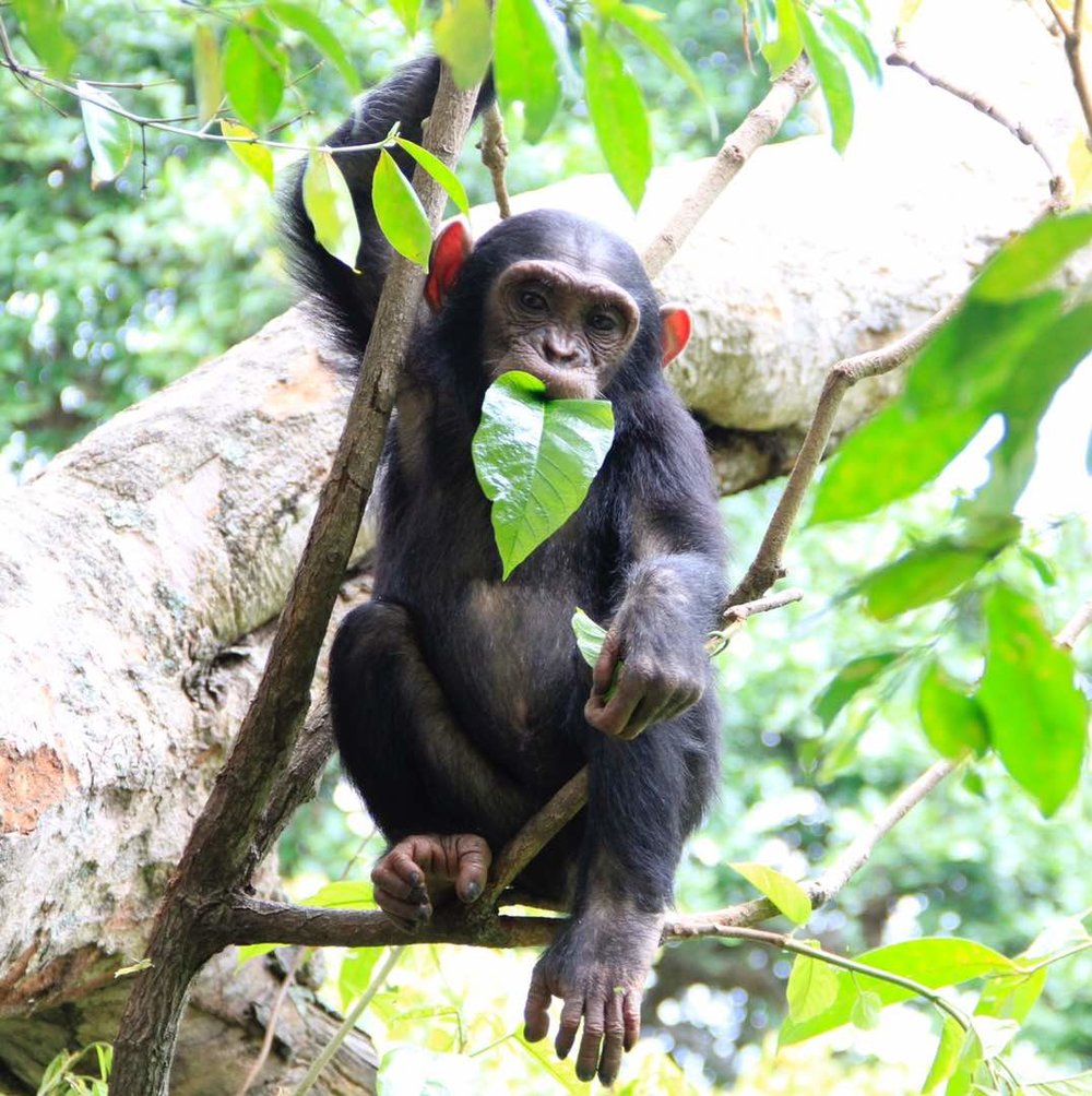 Sababu_Safaris_Chimp.jpg