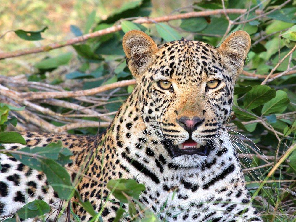 Sababu_Safaris_leopard.jpg