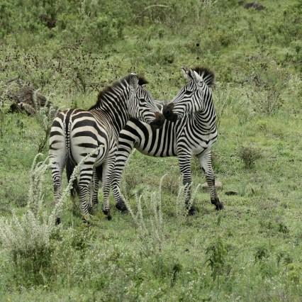 SababuSafaris_Zebras.jpeg