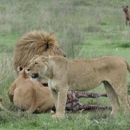 SababuSafaris_Lions1.jpg