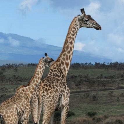 SababuSafaris_Giraffe1.jpg