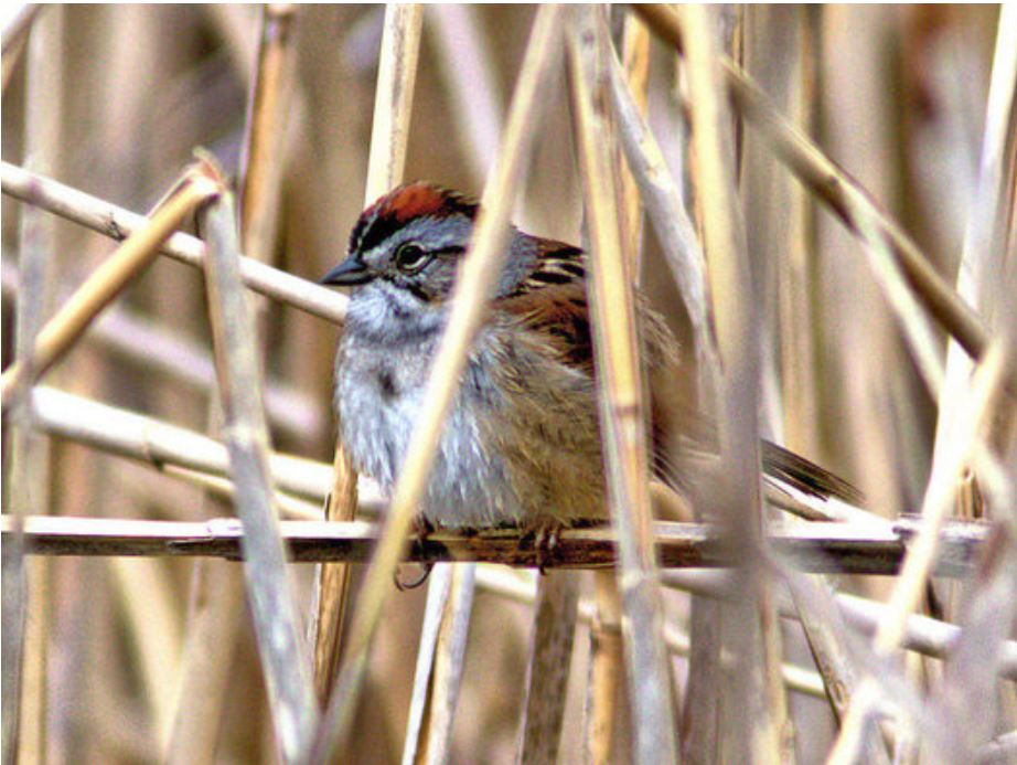 The swamp sparrow is among the birds traveling through North Carolina this month, on its way south for the winter. (Kenneth Cole Schneider)
