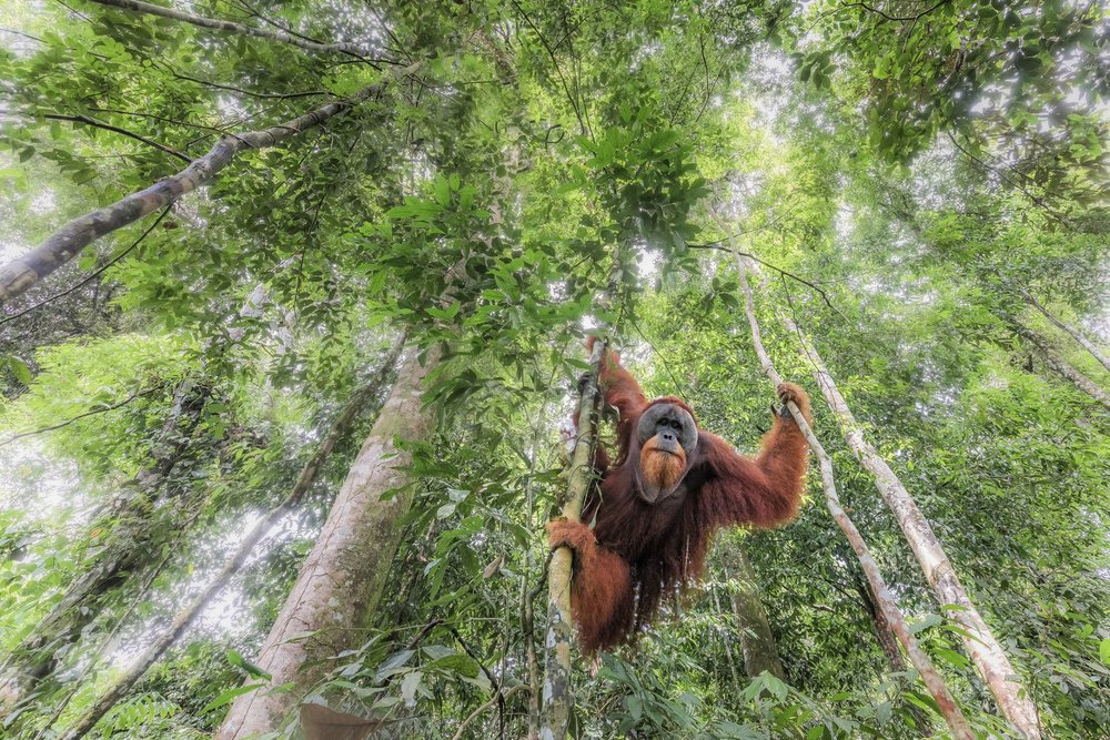 PHOTO CREDIT: Marco Gaiotti LOCATION:  : Gunung Leuser National Park (Indonesia)