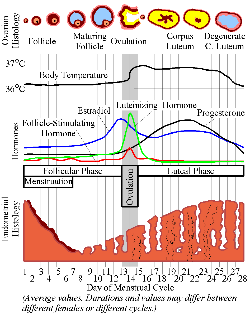 The Menstrual Cycle - (Image from Wikimedia commons)
