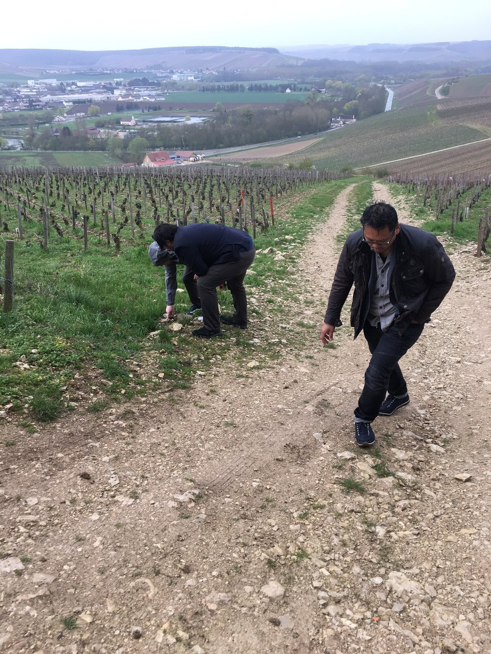 Searching for fossils in the Chablis Grand Cru vineyard