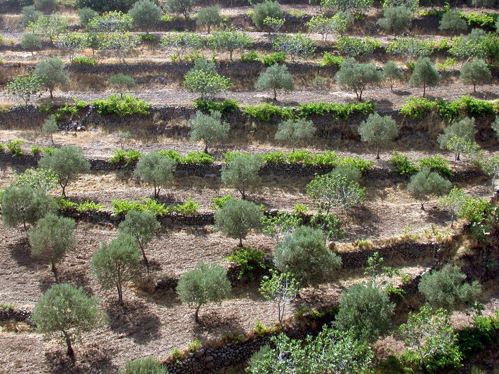 olijvenboomgaard.jpg