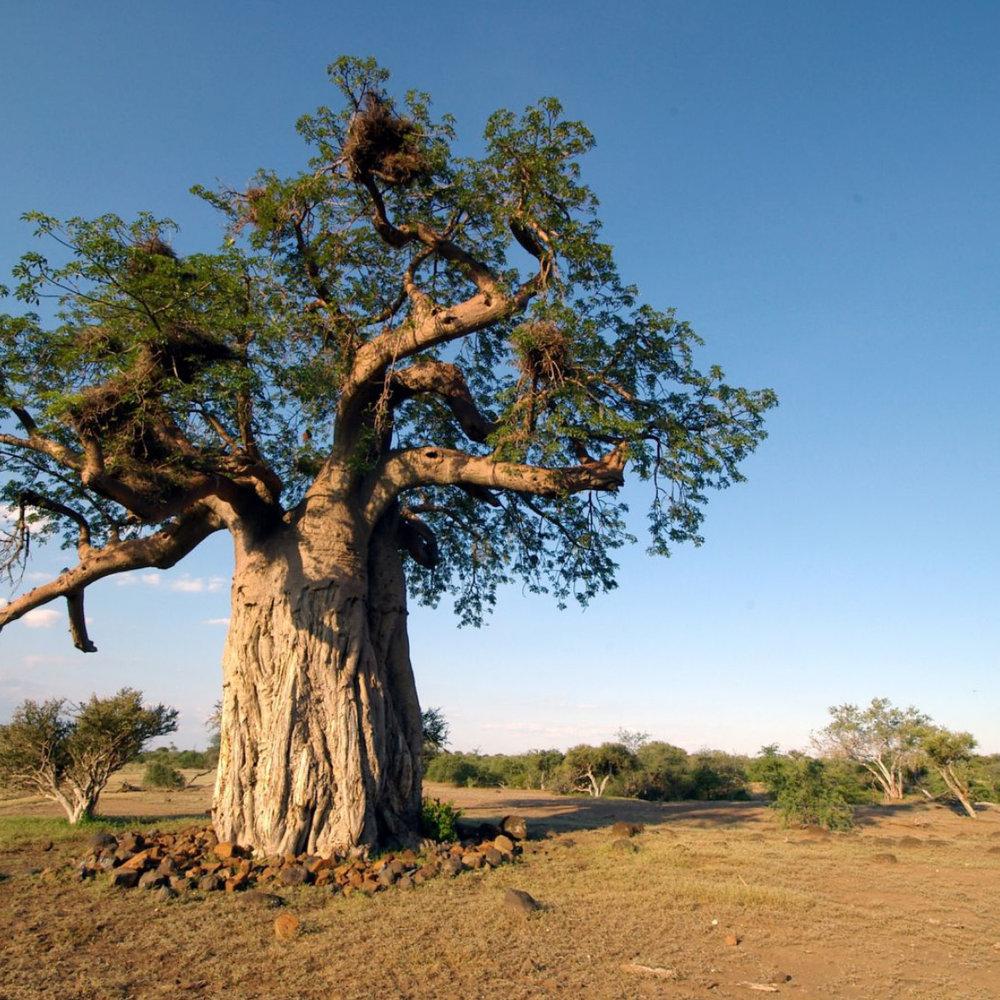 Baobab<strong>Baobab olie is rijk aan vitamine A, D en E en verbetert de elasticiteit van het haar.</strong>