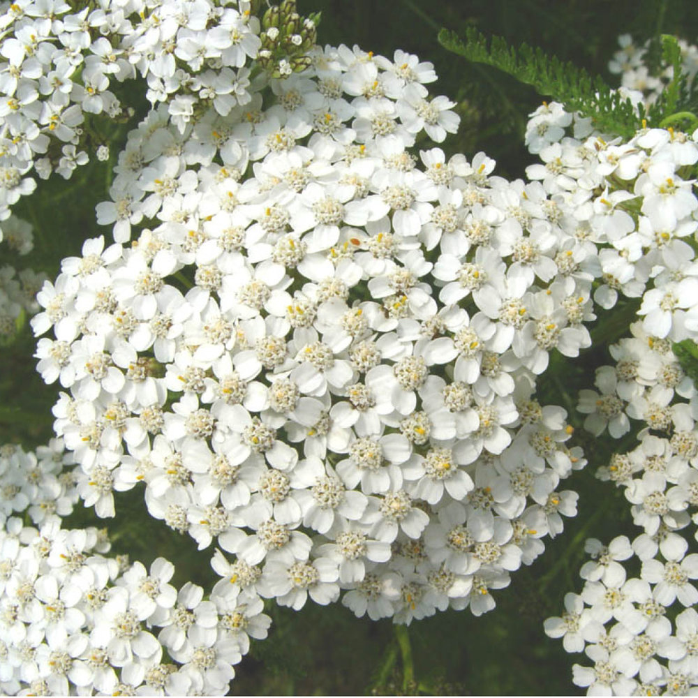 Yarrow<strong>Yarrow is used for its anti-inflammatory ans malleability qualities.</strong>