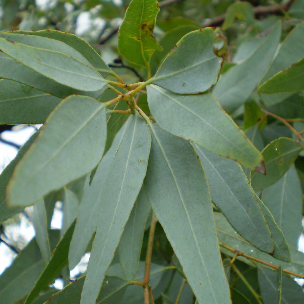 Eucalyptus<strong>Eucalyptus is een natuurlijk reinigende verdelger van vuil en helpt daardoor het haar schoon te houden.</strong>