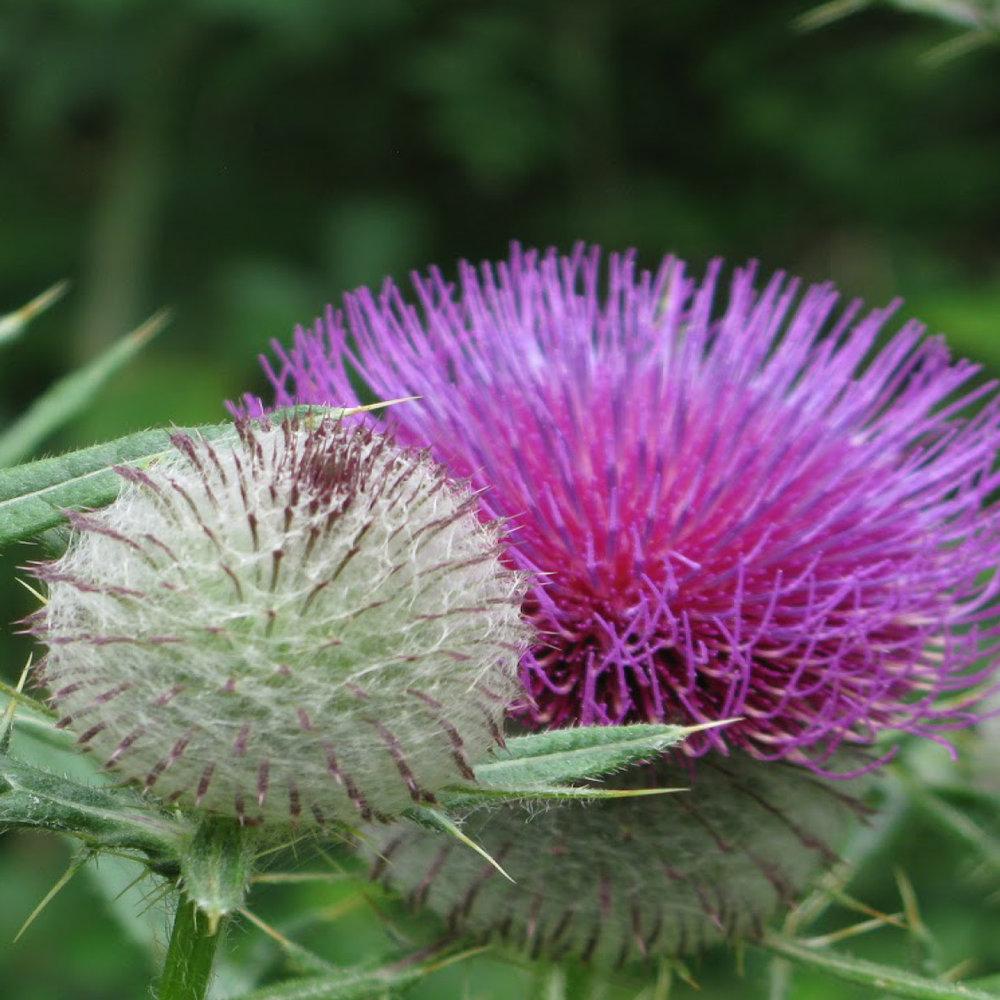 Kliswortel<strong>Kliswortel is rijk aan essentiële vetzuren, heeft een reinigende werking en maakt het haar sterker en voller, bestrijdt haaruitval en roos.</strong>