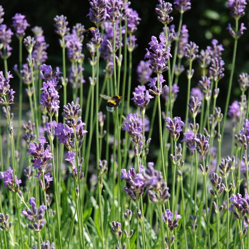 Lavendel<strong>Lavendel kalmeert en verzacht de haarvezel, handhaaft gezond haar of haar wat dunner wordt.</strong>