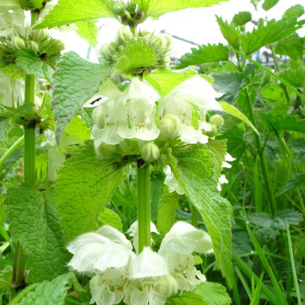 Nettle<strong>Nettle works anti-inflammatory, controls dandruff and stimulates the hair follicles.</strong>