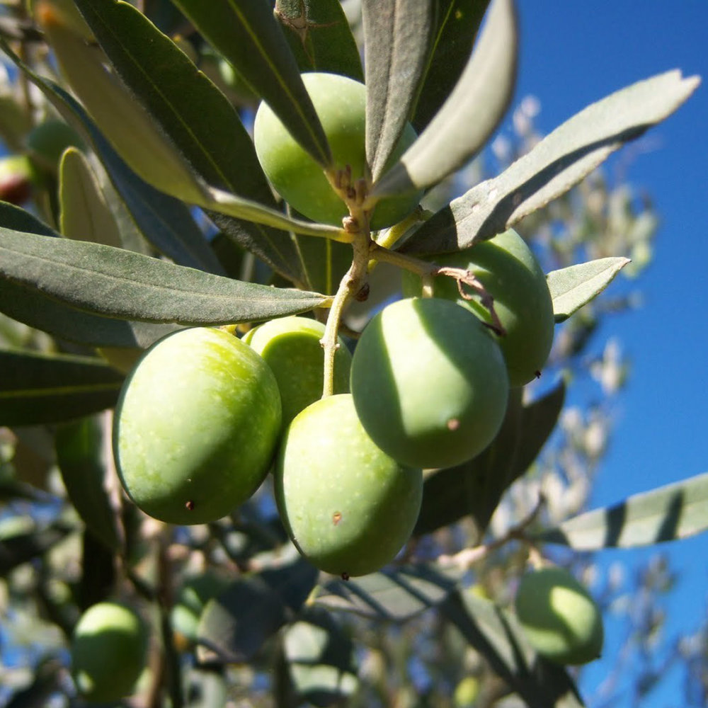 Olive<strong>Olive extract possesses anti-aging and softening qualities.</strong>